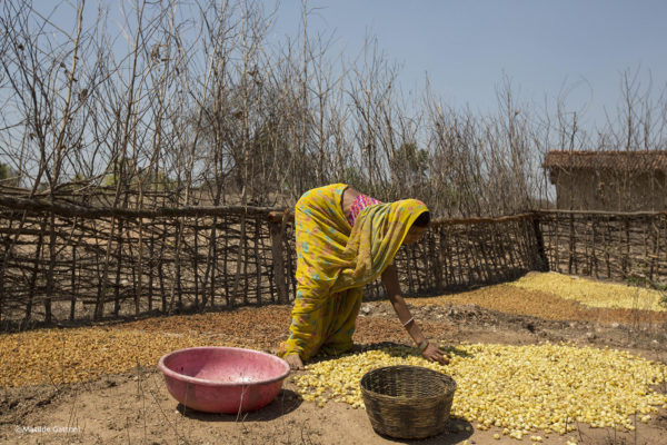 India - Jharkhand - Dhab - A young villager scattering mahua fruits on the soil for them to dry under the sun. Mahua is used to produce local alcohol and sell it at the market, the only other activity aprt from mining mica.