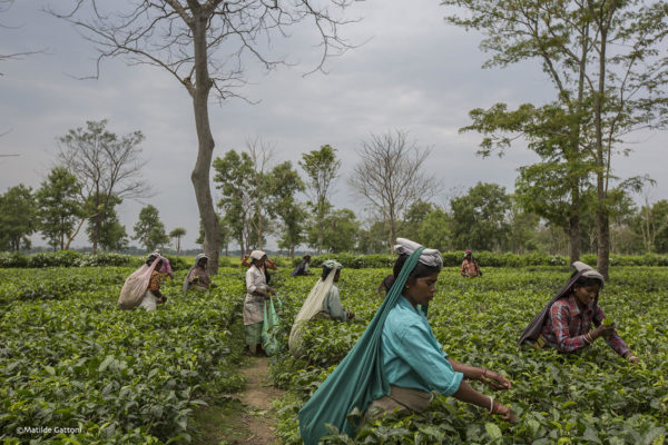 India ñ West Bengal: Tea pluckers at work at Mogulkata Tea Estate, in the Dooars region. The tea industry is India's second-largest employer, with over 3.5 million workers in more than 1,500 tea estates. In 2013-14, India accounted for 12 percent of the world tea exports.